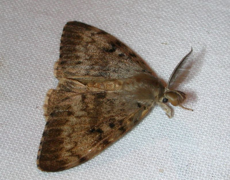 Lymantria dispar - Gypsy Moth