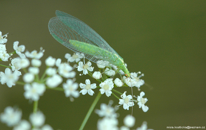 Chrysoperla carnea - Common Green Lacewing