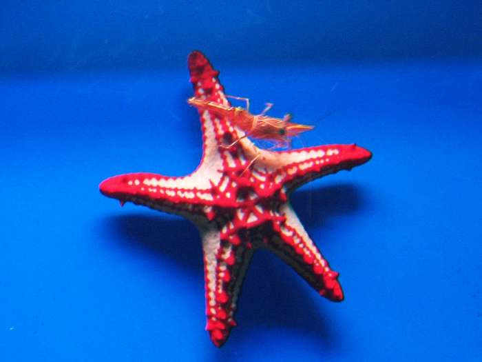 Protoreaster linckii - Red Knob Seastar