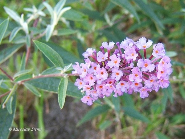 Buddleja davidii - Butterfly-bush