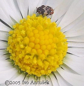 Anthrenus verbasci - Varied Carpet Beetle