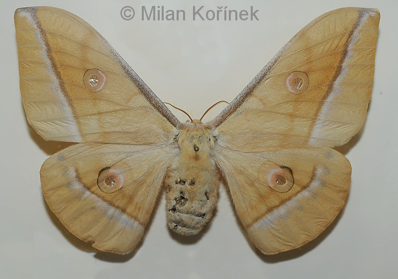 Antheraea hartii