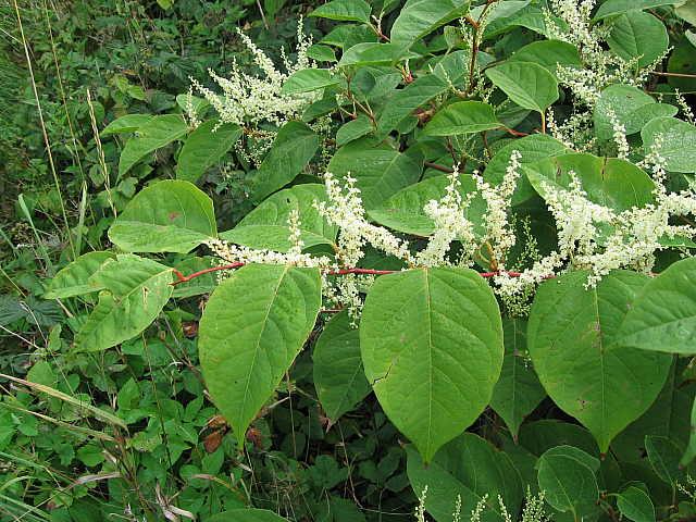 Japanese Knotweed Pictures >> Image - Reynoutria japonica (Japanese Knotweed) | BioLib.cz