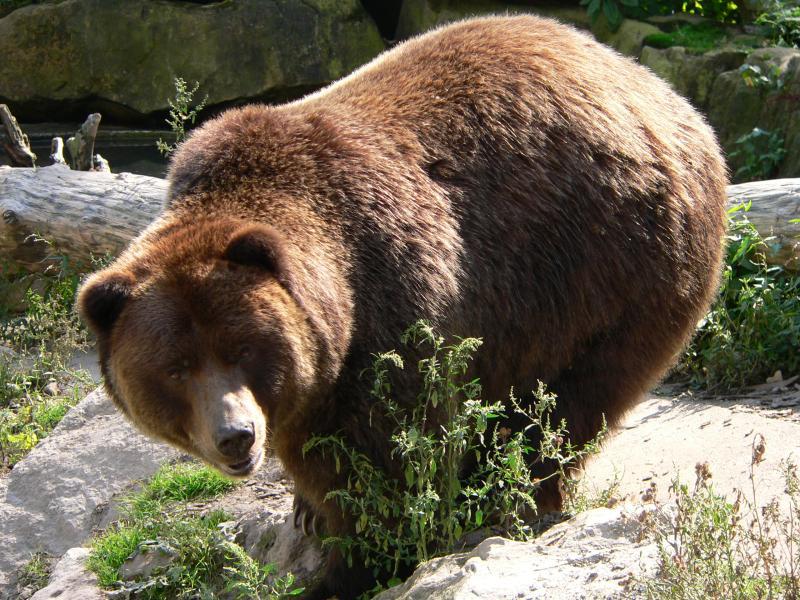 Ursus arctos horribilis - medvěd hnědý grizzly