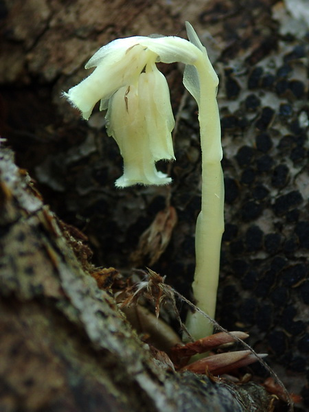 Monotropa hypopitys - Yellow Bird's-nest