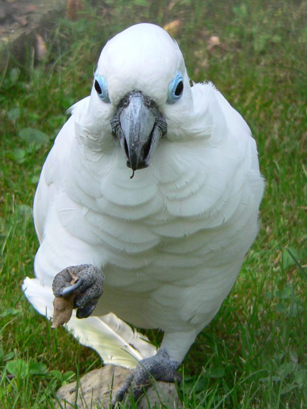Cacatua ophthalmica - Blue-eyed Cockatoo