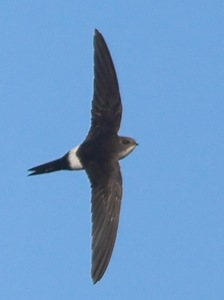 Apus pacificus - Fork-tailed Swift