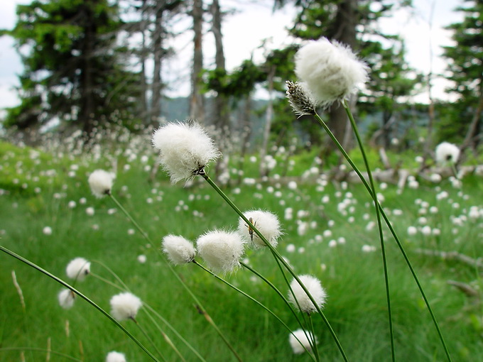 Eriophorum vaginatum - Hare's-tail Cottongrass