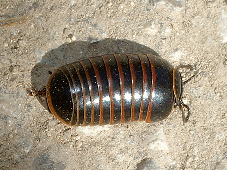 Glomeris marginata - Pill Millipede