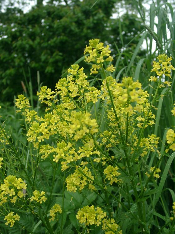 Barbarea vulgaris - Winter-cress