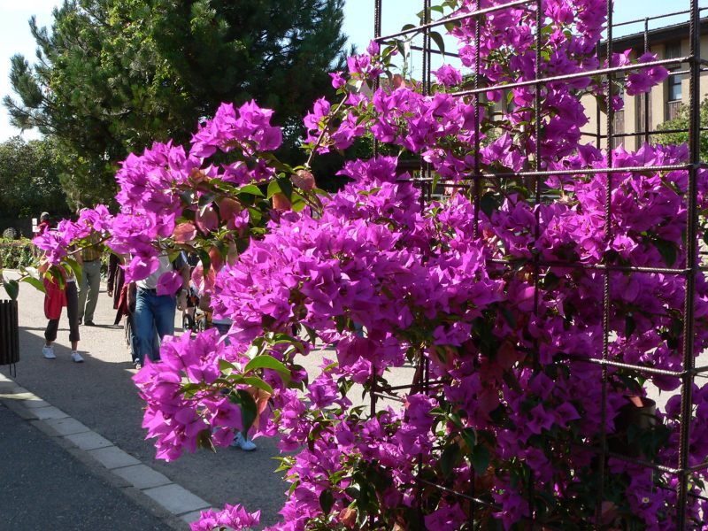 how to train bougainvillea up a wall