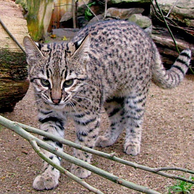 Geoffroy S Cat Kitten Cry Video