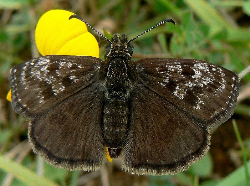 Erynnis tages - Dinky Skipper