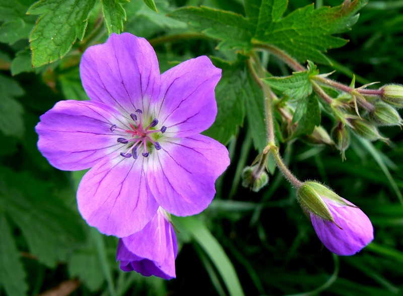 Geranium sylvaticum - Wood Crane's-bill