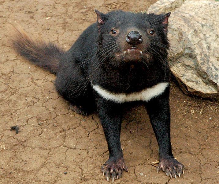 Sarcophilus harrisii - ďábel medvědovitý