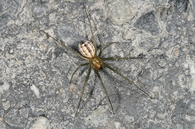 Neriene emphana