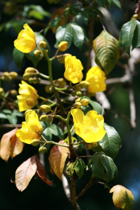 Cochlospermum religiosum - Silk-cotton Tree
