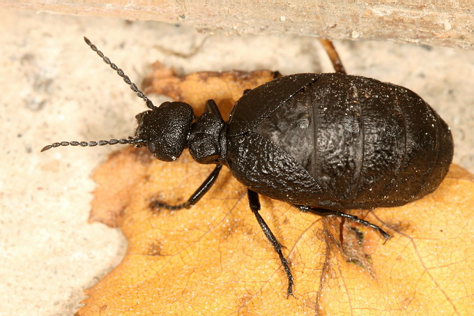 Meloe rugosus - Rugged Oil-beetle