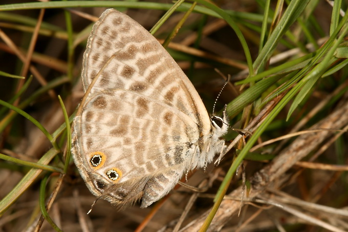 Leptotes pirithous - Lang's Short-tailed Blue