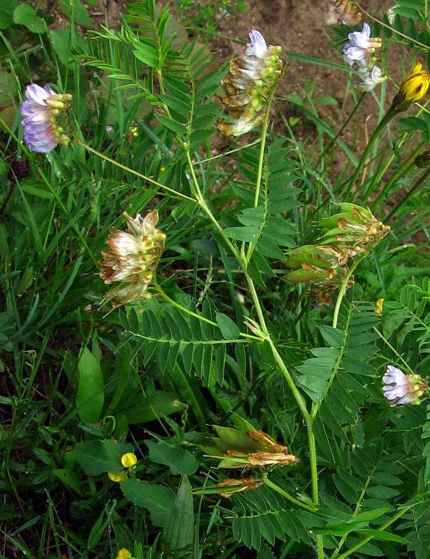 Vicia orobus - Wood Bitter-vetch