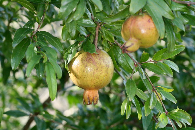 Punica granatum - Pomegranate