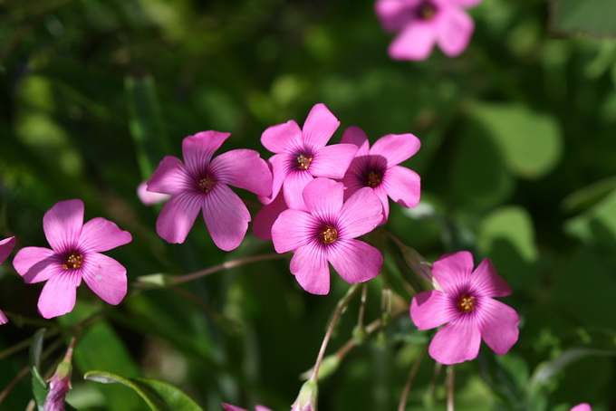 Oxalidaceae image