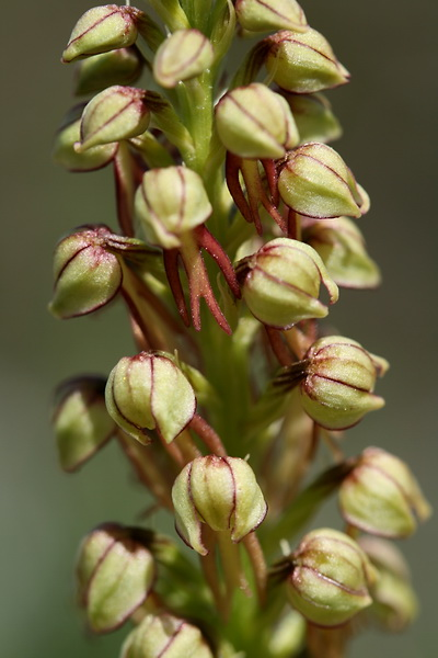 Aceras anthropophorum - Man Orchid