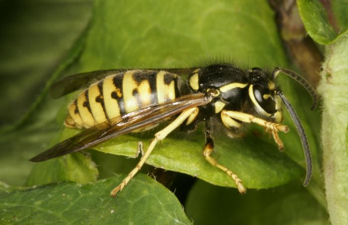 Vespula germanica - German Wasp