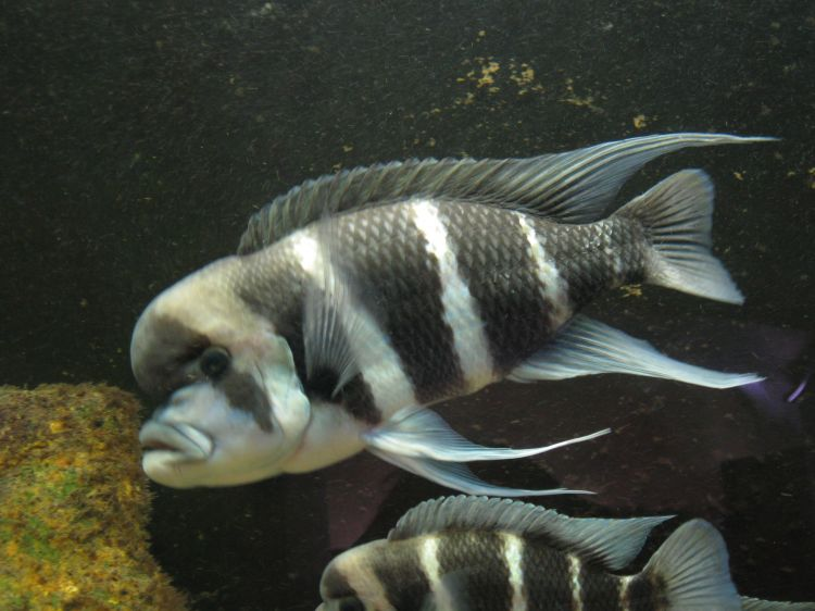 Cyphotilapia frontosa - Frontasa Cichlid