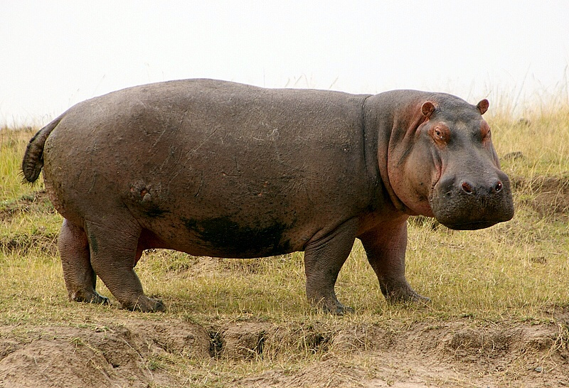 an analysis of hippopotamuses Spirit animal totems toggle hippopotamus symbolism to see a group of hippopotamuses in your dream suggests that you need to escape from the daily grind.