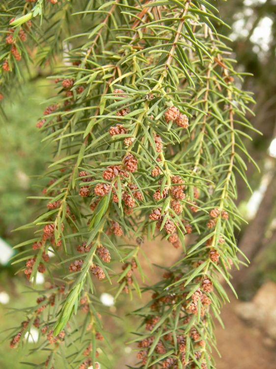 Juniperus cedrus - Canary Islands Juniper