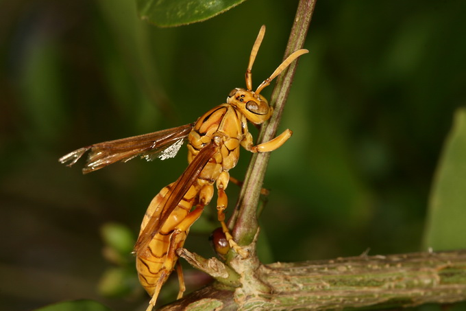 Polistes olivaceus - Yellow Oriental Paper-wasp