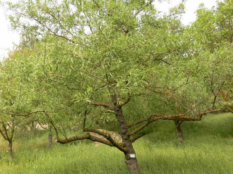 Pyrus salicifolia - Willow-leaved Pear