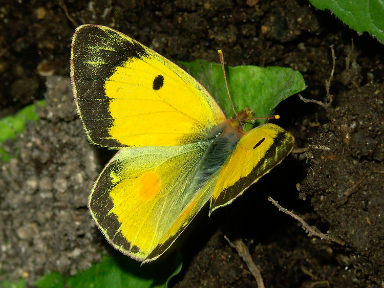 Colias erate erate f. edusoides - Eastern Pale Clouded Yellow