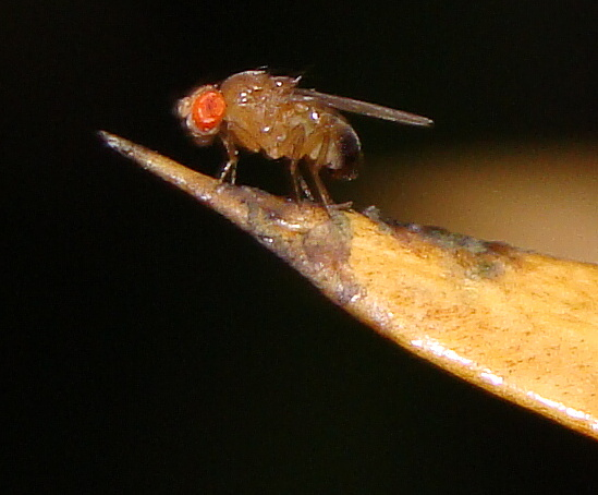 Drosophila melanogaster - Common Fruit Fly