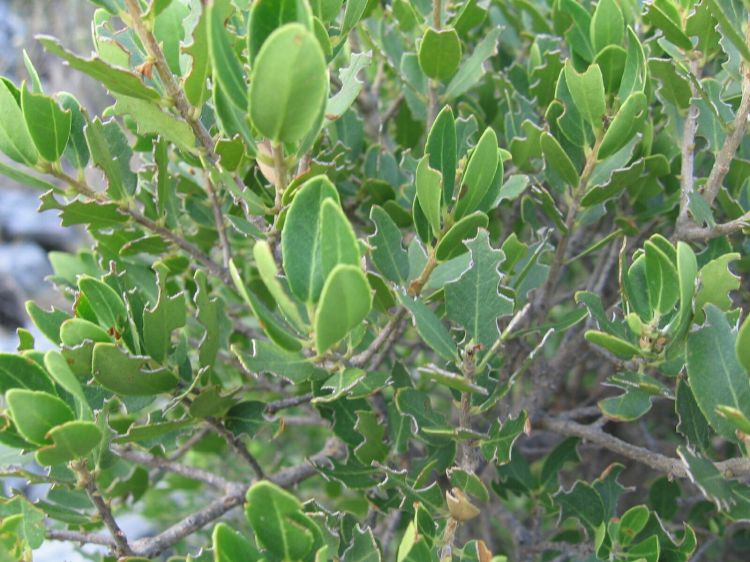 Phillyrea latifolia