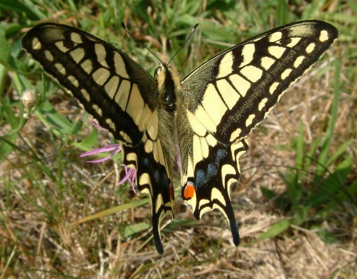 Papilio machaon - Old World Swallowtail