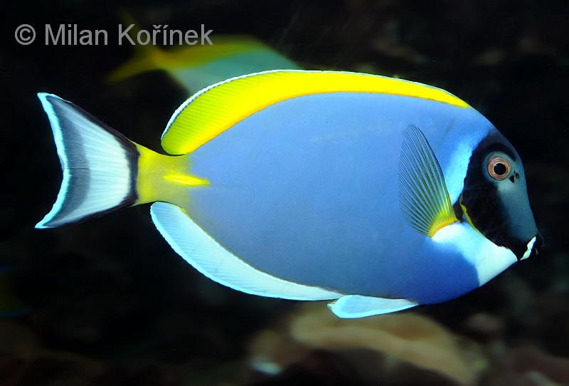 About Blue Tang >> Image - Acanthurus leucosternon (Powder Blue Tang)   BioLib.cz