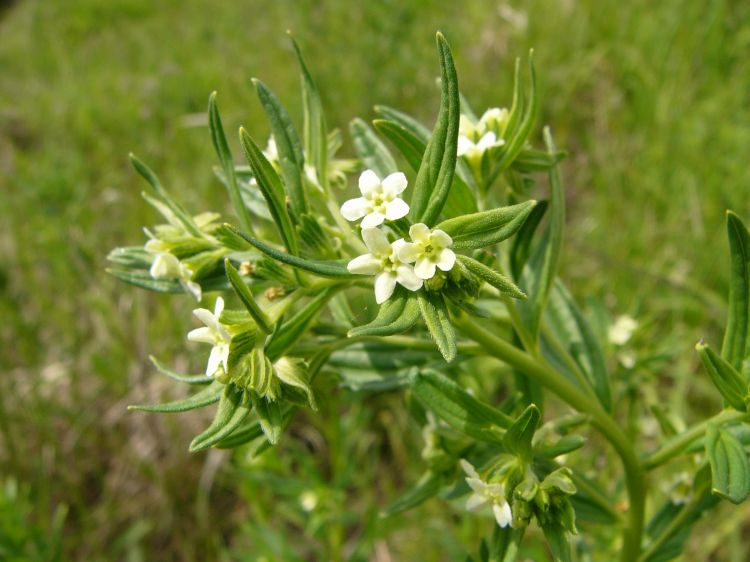 Lithospermum officinale - Wikipedia