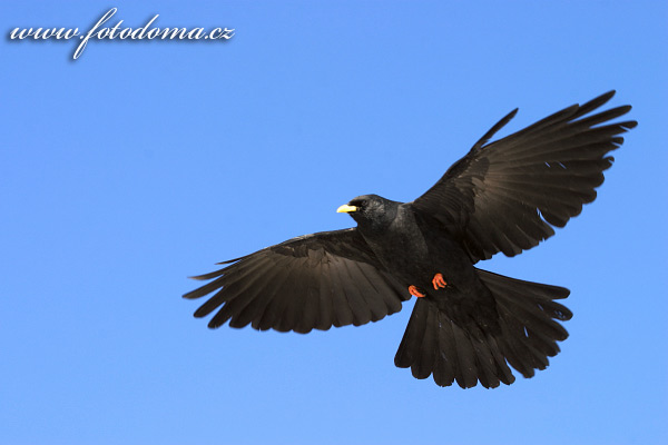 Pyrrhocorax graculus - Alpine Chough