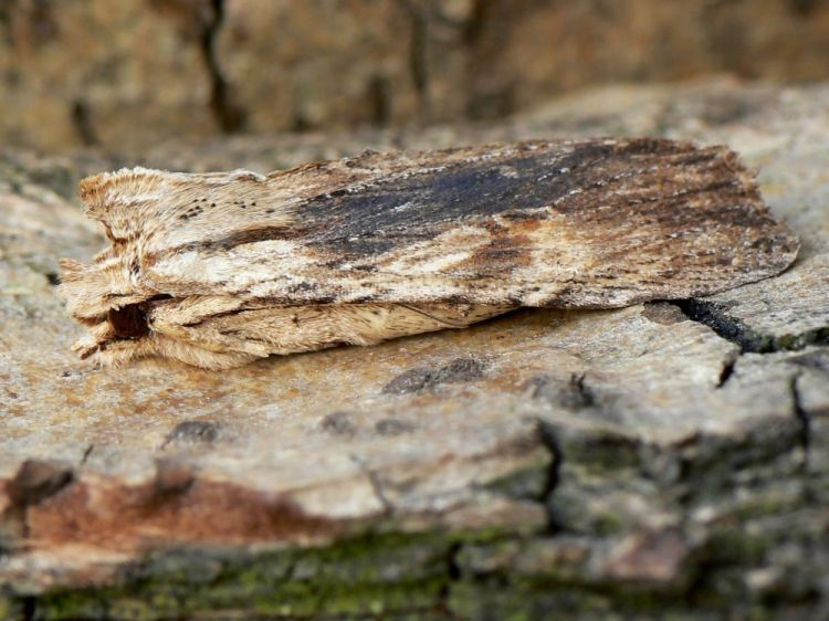Lithophane socia - Pale Pinion