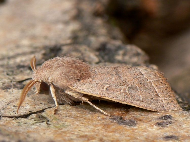 Orthosia cerasi - Common Quaker