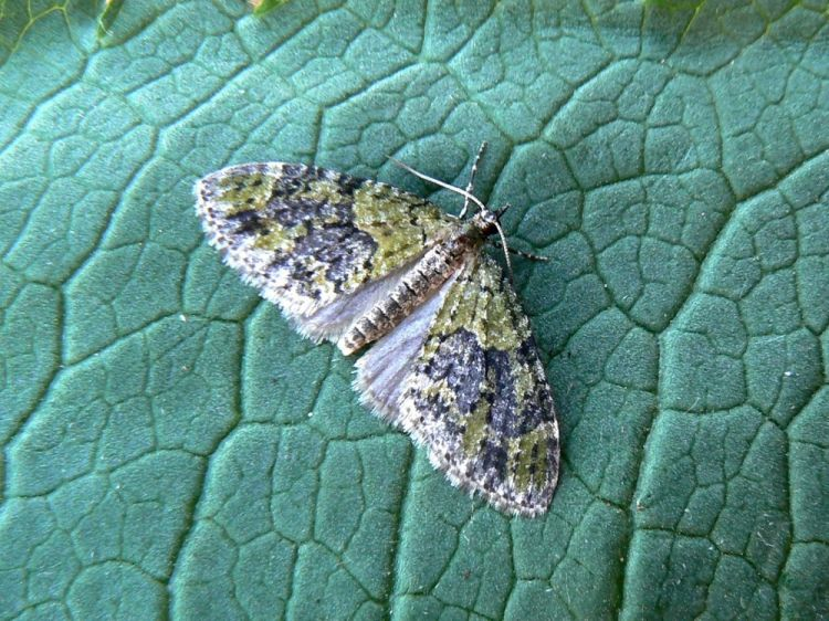 Acasis viretata - Yellow-barred Brindle
