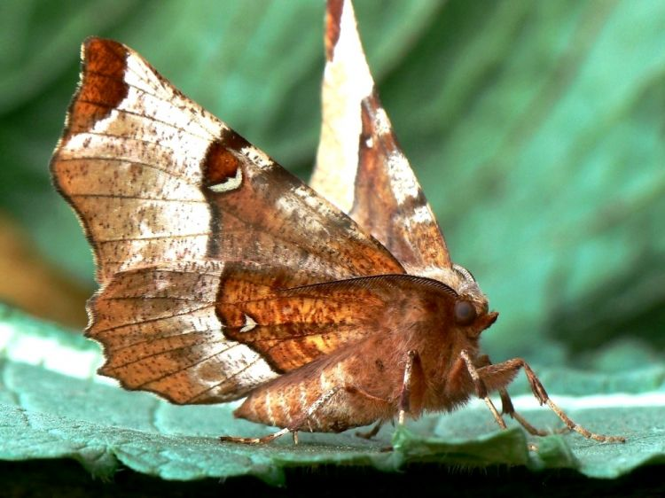 Selenia tetralunaria - Purple Thorn
