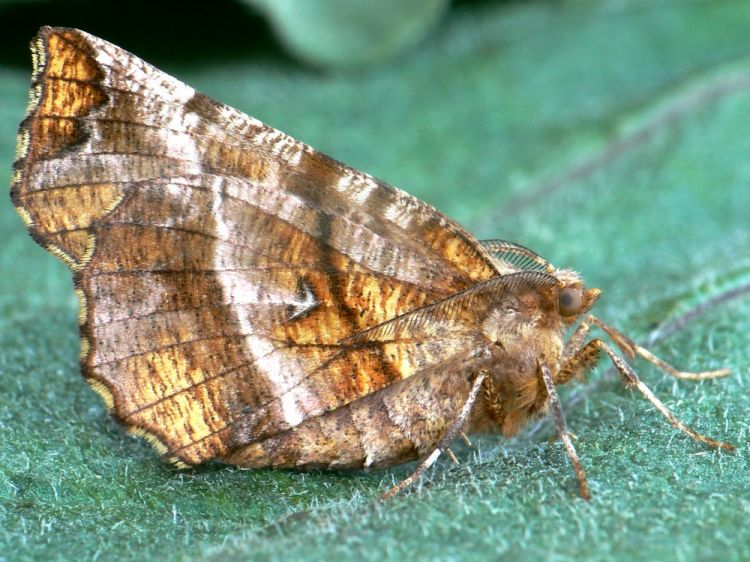Selenia dentaria - Early Thorn