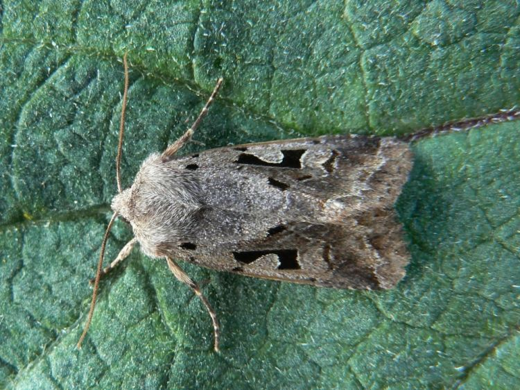 Orthosia gothica - Hebrew Character