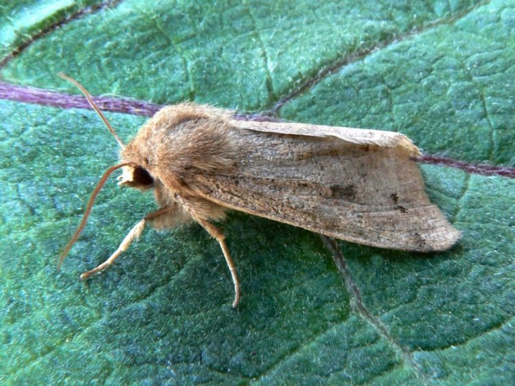 Orthosia munda - Twin-spotted Quaker