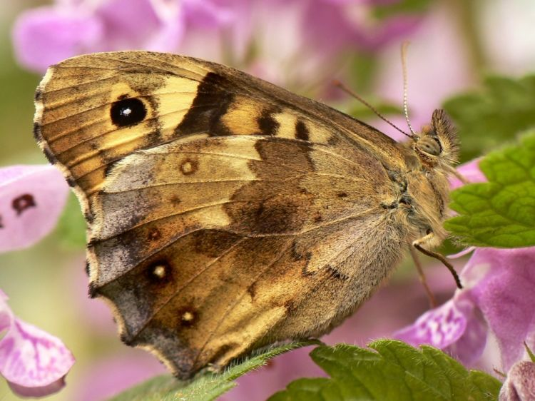 Pararge aegeria tircis - Speckled Wood