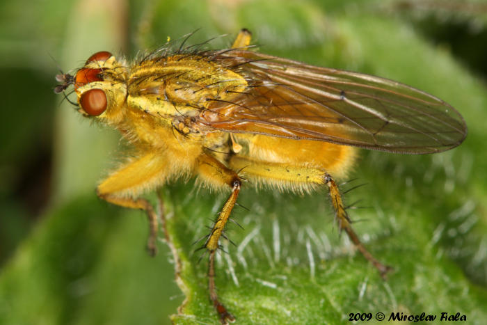 Scathophaga stercoraria - Yellow Dung Fly