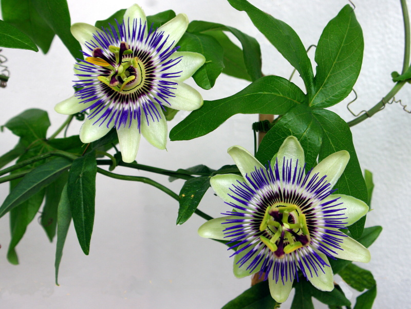 image passiflora caerulea blue passionflower. Black Bedroom Furniture Sets. Home Design Ideas